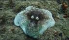 Ahtapotun inanılmaz kamuflaj yeteneği