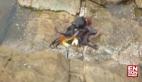 Ahtapotun yengeç avı