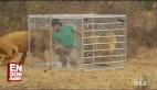 Aslanlar üzerinde tehlikeli deney HD