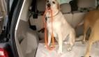 Bagaj kapısına takılmasın diye tasmasını toplayan köpek