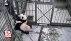 Bakıcısını bırakmayan sevimli pandalar