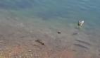 Balık ördek yavrusunu yedi