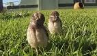 Baykuşların ilginç hareketleri