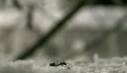 Bir karıncanın ölüm kalım mücadelesi