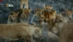 Dişi aslanların akıl dolu domuz avı