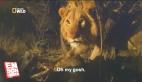 Erkek aslanlar üzerinde tehlikeli beslenme deneyi