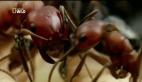 Hayvanların Dövüş Kulübü – Amazon Karıncası