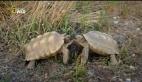 Hayvanların Dövüş Kulübü – Çöl Kaplumbağası