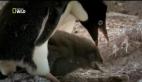 Hayvanların Dövüş Kulübü – Penguenler