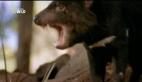 Hayvanların Dövüş Kulübü – Tazmanya Canavarı
