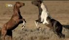 Hayvanların Dövüş Kulübü – Vahşi Atlar