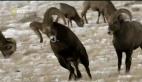 Hayvanların Dövüş Kulübü – Yaban Koyunu