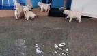 İlk defa suyla buluşan yavru köpekler
