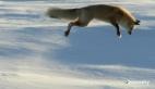 Tilkinin karda fare avı