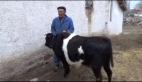 Üzerinde ay-yıldız bulunan inek görenleri şaşırttı
